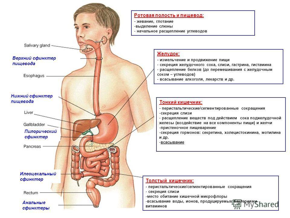 Ротовая полость и пищевод: - жевание, глотание -выделение слюны - начальное расщепление углеводов Желудок: - измельчение и продвижение пищи - секреция желудочного сока, слизи, гастрина, гистамина - расщепление белков (до перемешивания с желудочным со