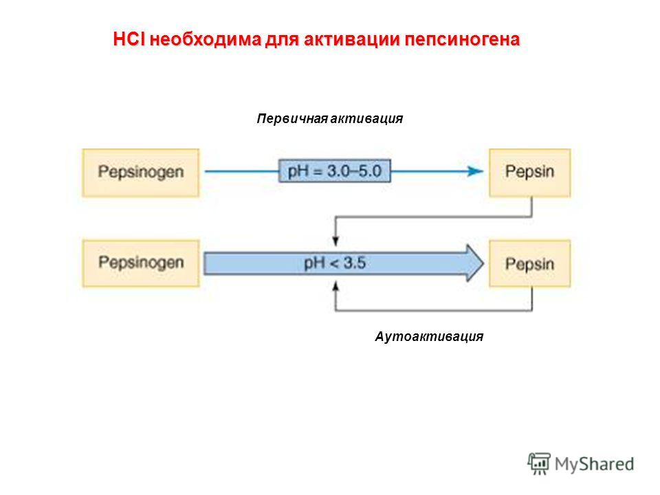 HCl необходима для активации пепсиногена Первичная активация Аутоактивация