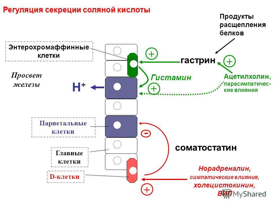 гастрин Гистамин Париетальные клетки Энтерохромаффинные клетки Главные клетки D-клетки соматостатин + Норадреналин, симпатические влияния, холецистокинин, ВИП Ацетилхолин, парасимпатичес- кие влияния H+H+ - + Просвет железы + Регуляция секреции солян