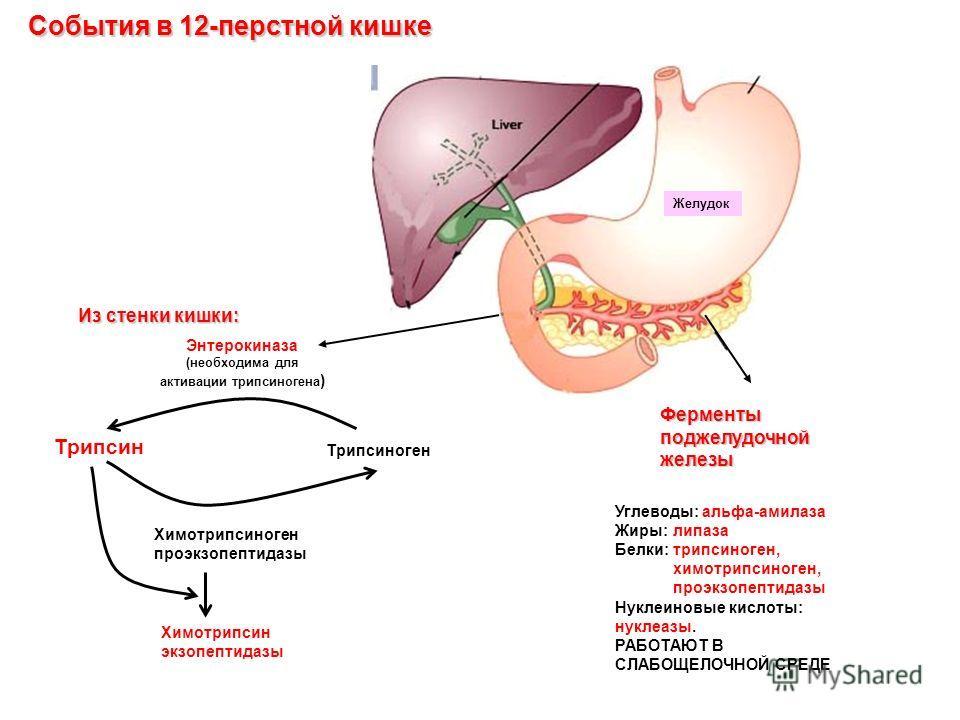 Энтерокиназа (необходима для активации трипсиногена ) Ферменты поджелудочной железы Из стенки кишки: Углеводы: альфа-амилаза Жиры: липаза Белки: трипсиноген, химотрипсиноген, проэкзопептидазы Нуклеиновые кислоты: нуклеазы. РАБОТАЮТ В СЛАБОЩЕЛОЧНОЙ СР