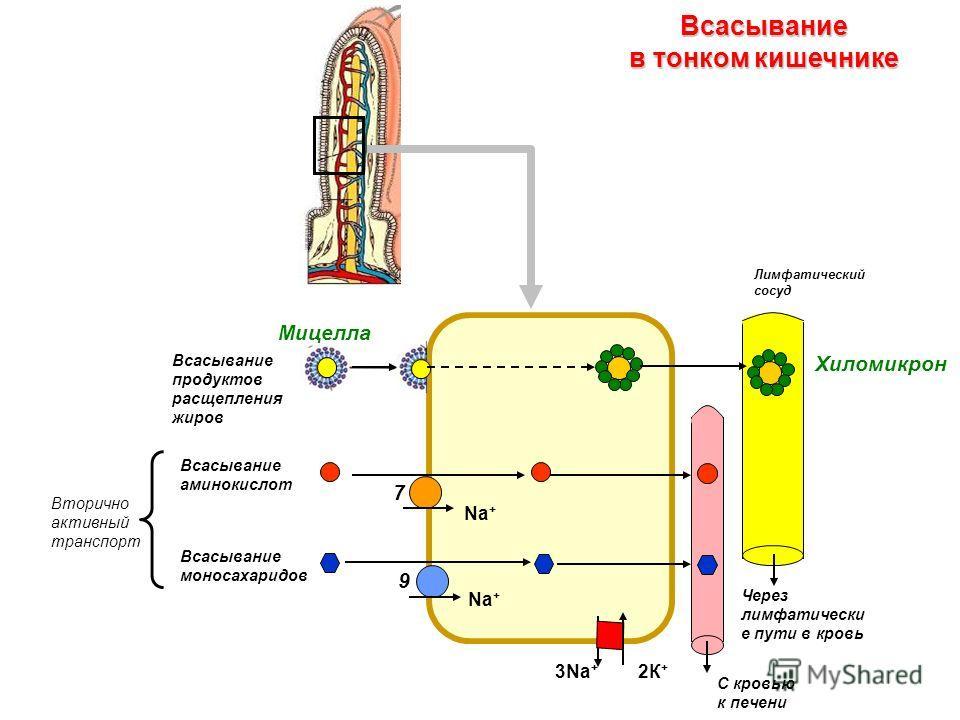 3Na + Na + Всасывание аминокислот Мицелла Лимфатический сосуд 7 9 С кровью к печени Через лимфатически е пути в кровь Всасывание моносахаридов Всасывание продуктов расщепления жиров Вторично активный транспорт Всасывание в тонком кишечнике Хиломикрон