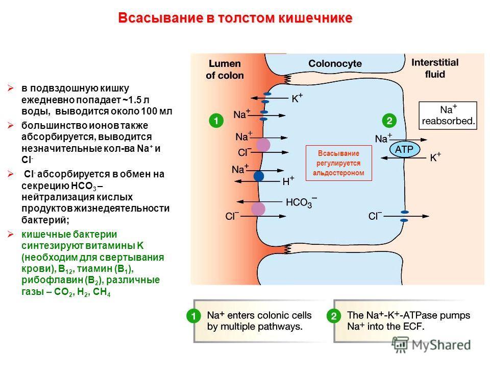 Всасывание в толстом кишечнике Всасывание регулируется альдостероном в подвздошную кишку ежедневно попадает ~1.5 л воды, выводится около 100 мл большинство ионов также абсорбируется, выводится незначительные кол-ва Na + и Cl - Сl - абсорбируется в об