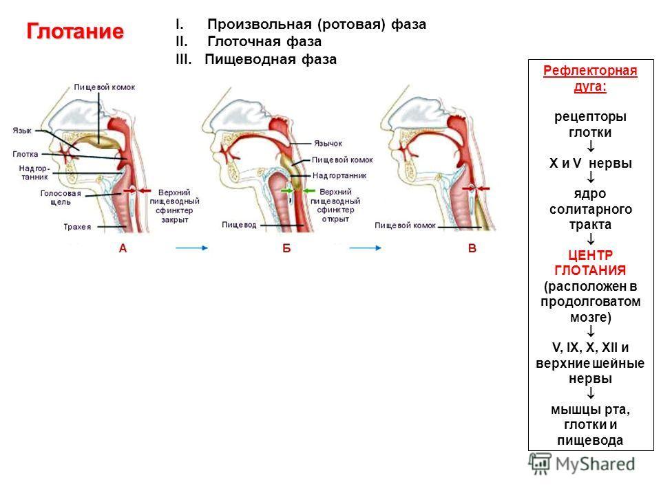 Глотание I.Произвольная (ротовая) фаза II.Глоточная фаза III. Пищеводная фаза Рефлекторная дуга: рецепторы глотки X и V нервы ядро солитарного тракта ЦЕНТР ГЛОТАНИЯ (расположен в продолговатом мозге) V, IX, X, XII и верхние шейные нервы мышцы рта, гл