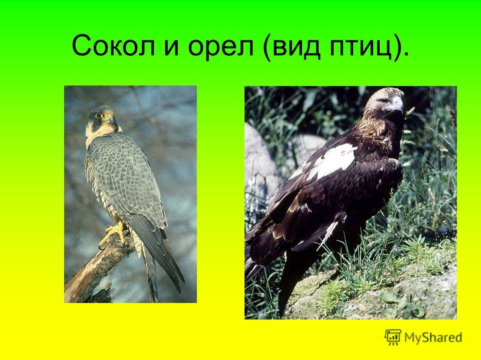 Сокол и орел (вид птиц).
