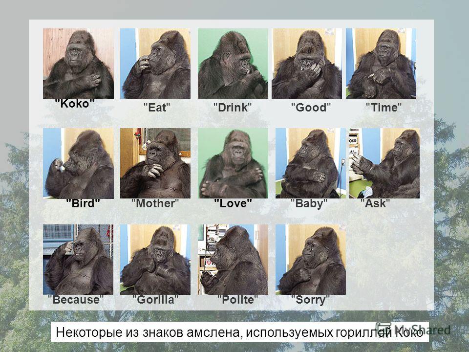 Time Mother EatDrinkGood Because Ask Baby GorillaPolite Sorry LoveBird Koko Некоторые из знаков амслена, используемых гориллой Коко