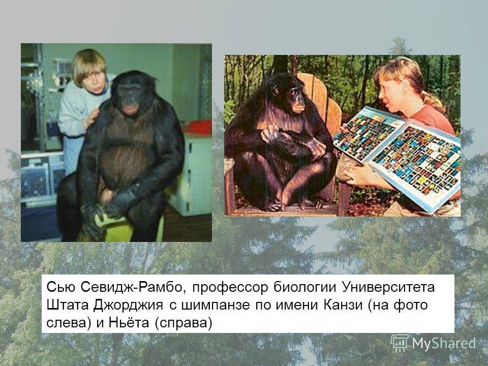 Сью Севидж-Рамбо, профессор биологии Университета Штата Джорджия с шимпанзе по имени Канзи (на фото слева) и Ньёта (справа)
