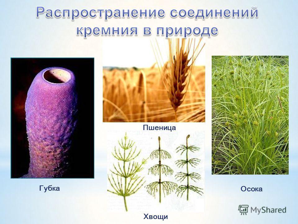 Губка Осока Хвощи Пшеница