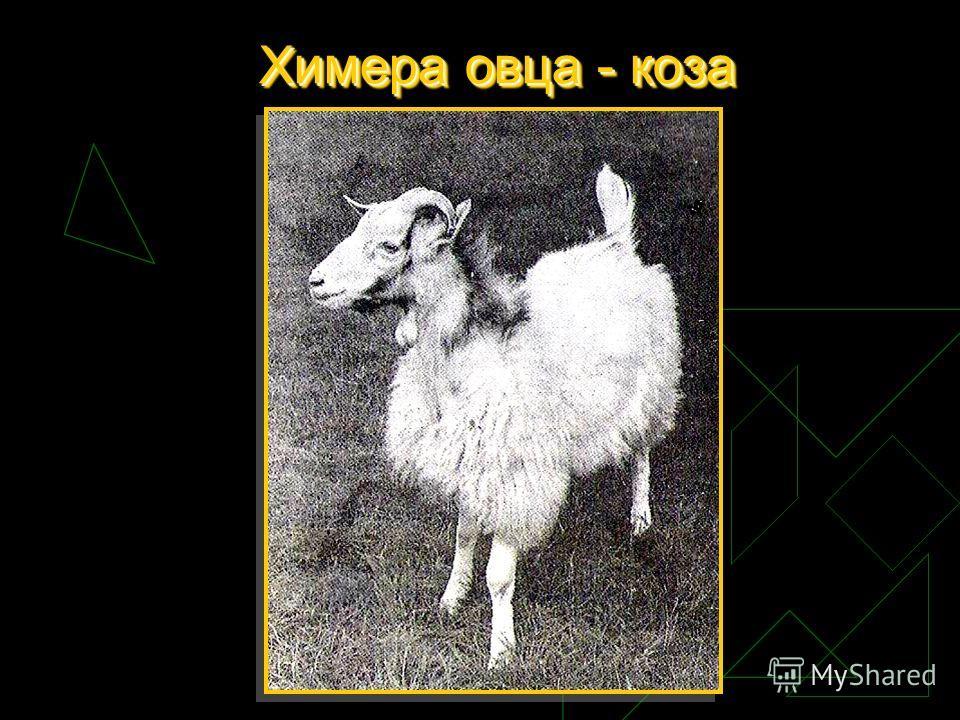 Химераовца - коза Химера овца - коза