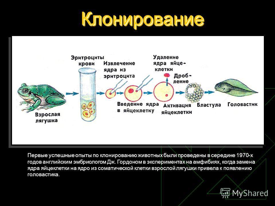 КлонированиеКлонирование Первые успешные опыты по клонированию животных были проведены в середине 1970-х годов английским эмбриологом Дж. Гордоном в экспериментах на амфибиях, когда замена ядра яйцеклетки на ядро из соматической клетки взрослой лягуш