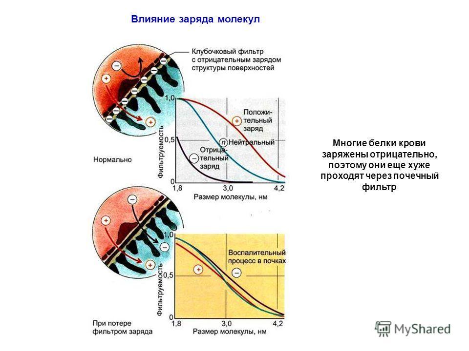 Влияние заряда молекул Многие белки крови заряжены отрицательно, поэтому они еще хуже проходят через почечный фильтр