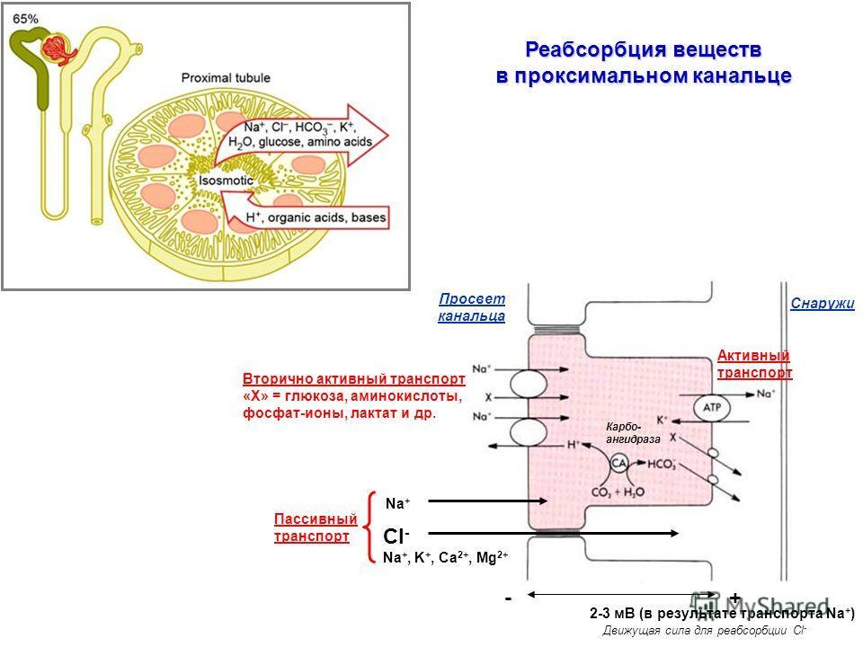 Реабсорбция веществ в проксимальном канальце Вторично активный транспорт «Х» = глюкоза, аминокислоты, фосфат-ионы, лактат и др. Просвет канальца Снаружи Cl - Na +, K +, Ca 2+, Mg 2+ -+ 2-3 мВ (в результате транспорта Na + ) Движущая сила для реабсорб