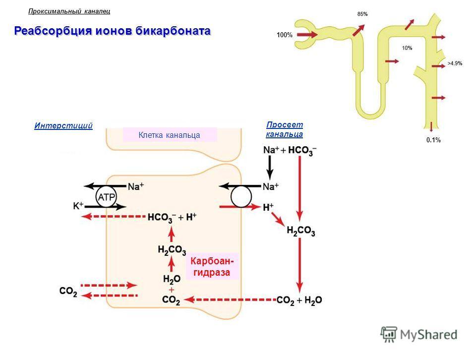 Реабсорбция ионов бикарбоната Проксимальный каналец 100% 0.1% Просвет канальца Интерстиций Карбоан- гидраза Клетка канальца