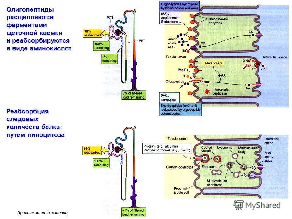 Олигопептиды расщепляются ферментами щеточной каемки и реабсорбируются в виде аминокислот Реабсорбция следовых количеств белка: путем пиноцитоза Проксимальный каналец