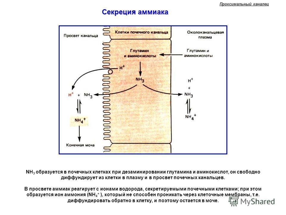 NH 3 образуется в почечных клетках при дезаминировании глутамина и аминокислот, он свободно диффундирует из клетки в плазму и в просвет почечных канальцев. В просвете аммиак реагирует с ионами водорода, секретируемыми почечными клетками; при этом обр