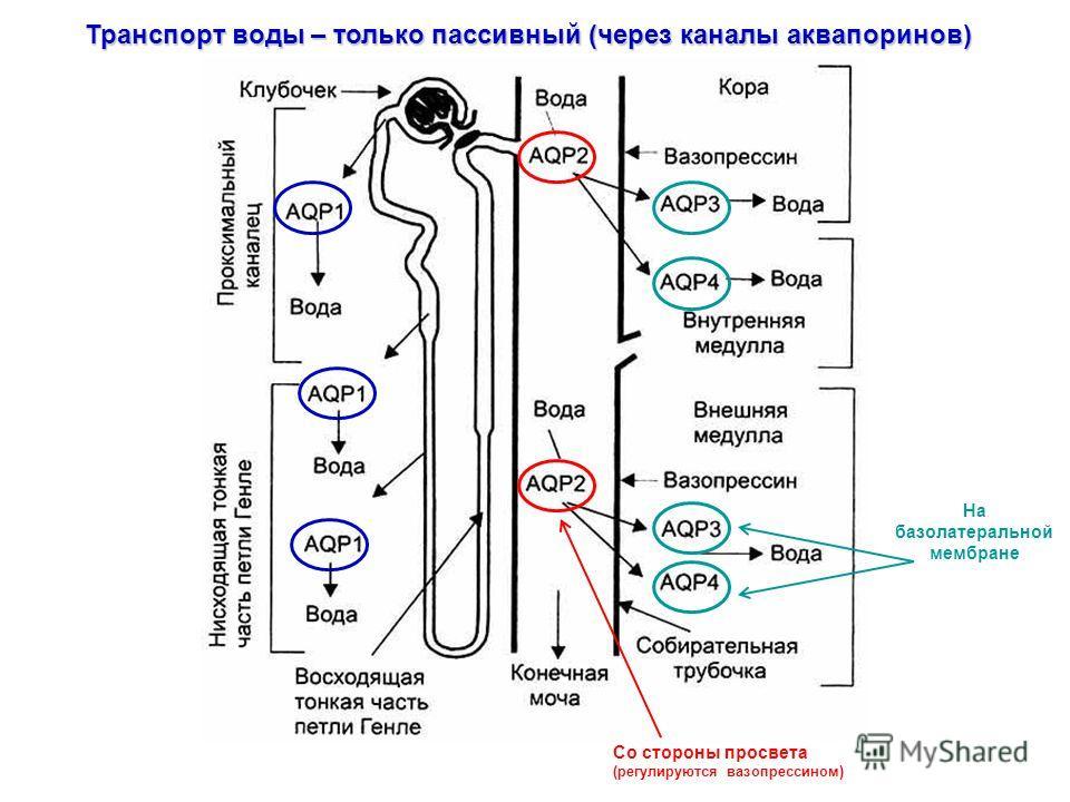 Транспорт воды – только пассивный (через каналы аквапоринов) Со стороны просвета (регулируются вазопрессином) На базолатеральной мембране