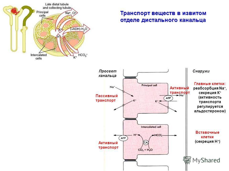 Главные клетки: реабсорбция Na +, секреция К + (активность транспорта регулируется альдостероном) Вставочные клетки (секреция Н + ) Просвет канальца Снаружи Активный транспорт Пассивный транспорт Активный транспорт Транспорт веществ в извитом отделе
