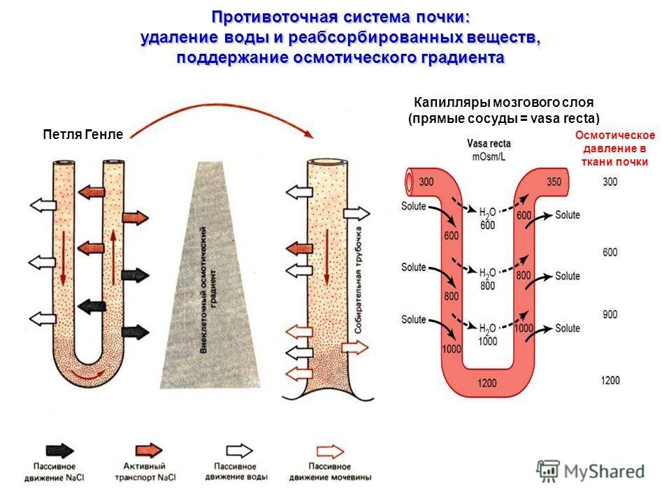 Противоточная система почки: удаление воды и реабсорбированных веществ, поддержание осмотического градиента Петля Генле Капилляры мозгового слоя (прямые сосуды = vasa recta) Осмотическое давление в ткани почки
