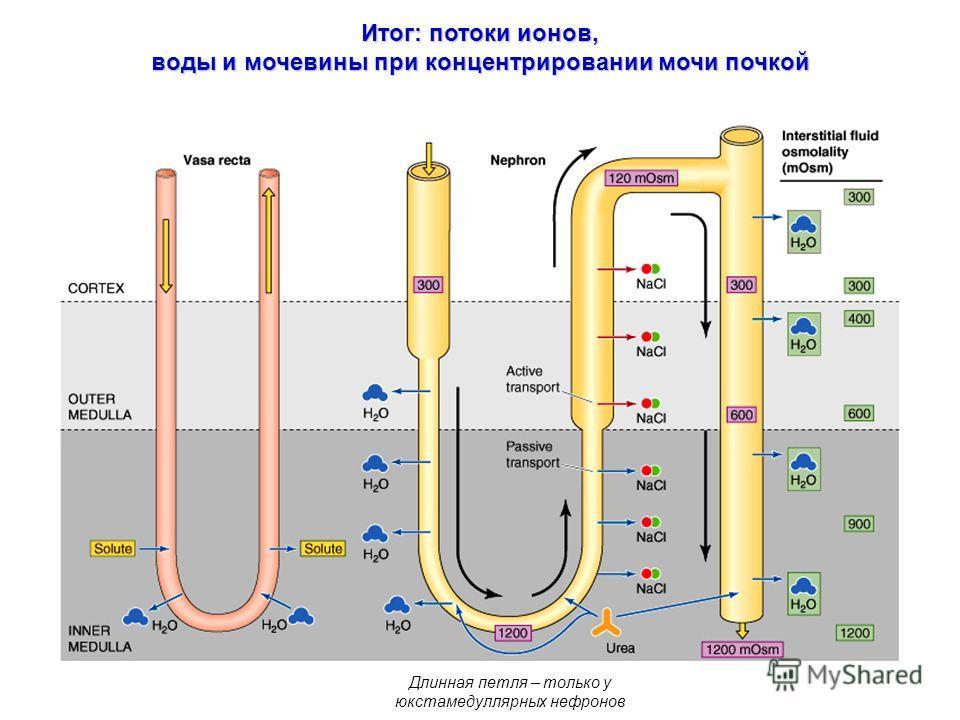 Итог: потоки ионов, воды и мочевины при концентрировании мочи почкой Длинная петля – только у юкстамедуллярных нефронов
