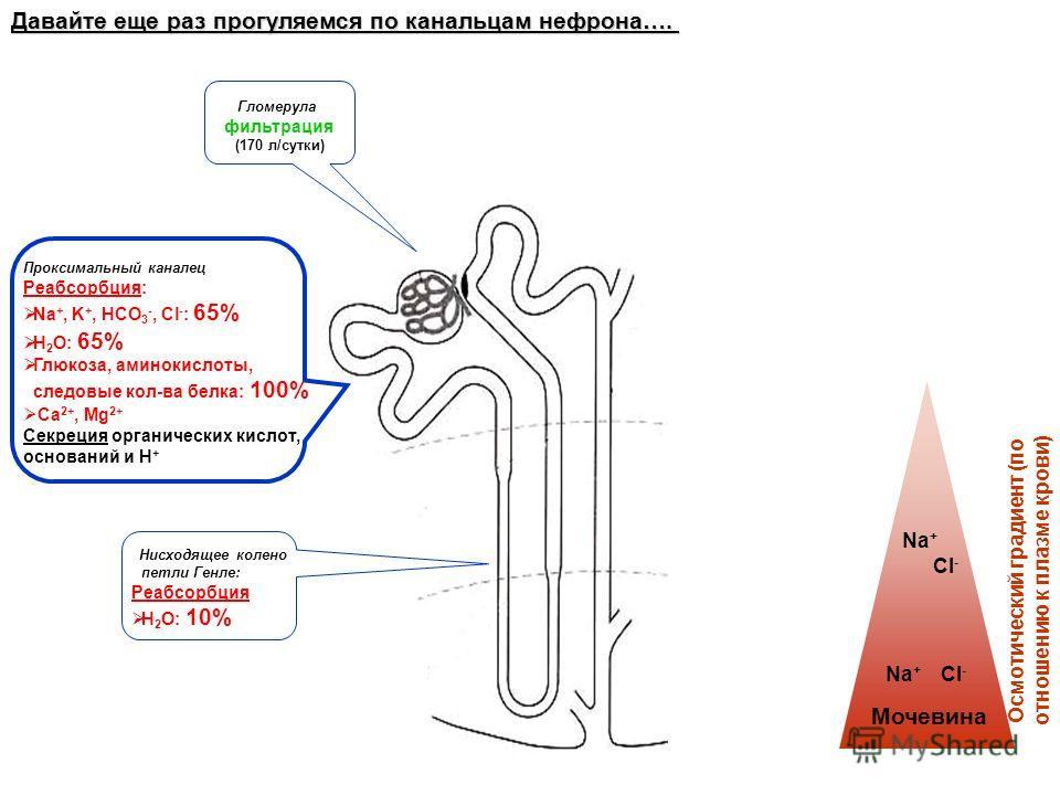 Давайте еще раз прогуляемся по канальцам нефрона…. Гломерула фильтрация (170 л/сутки) Проксимальный каналец Реабсорбция: Na +, K +, HCO 3 -, Cl - : 65% H 2 O: 65% Глюкоза, аминокислоты, следовые кол-ва белка: 100% Ca 2+, Mg 2+ Секреция органических к