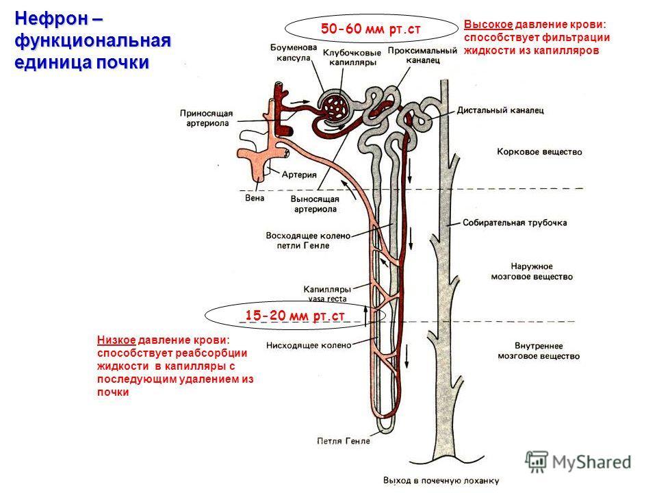 50-60 мм рт.ст 15-20 мм рт.ст Нефрон – функциональная единица почки Высокое давление крови: способствует фильтрации жидкости из капилляров Низкое давление крови: способствует реабсорбции жидкости в капилляры с последующим удалением из почки