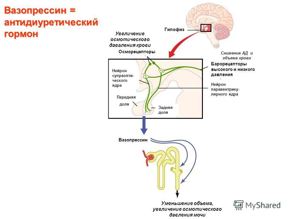 Вазопрессин = антидиуретический гормон Осморецепторы Барорецепторы высокого и низкого давления Нейрон паравентрику- лярного ядра Нейрон супраопти- ческого ядра Гипофиз Вазопрессин Уменьшение объема, увеличение осмотического давления мочи Задняя доля