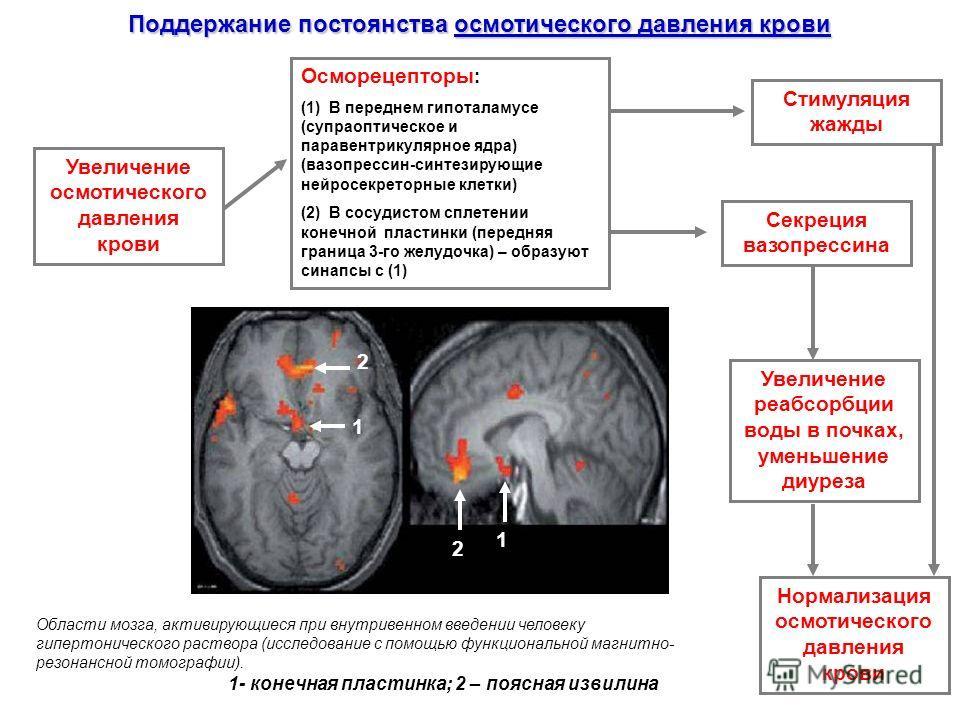 Поддержание постоянства осмотического давления крови Осморецепторы : (1) В переднем гипоталамусе (супраоптическое и паравентрикулярное ядра) (вазопрессин-синтезирующие нейросекреторные клетки) (2) В сосудистом сплетении конечной пластинки (передняя г
