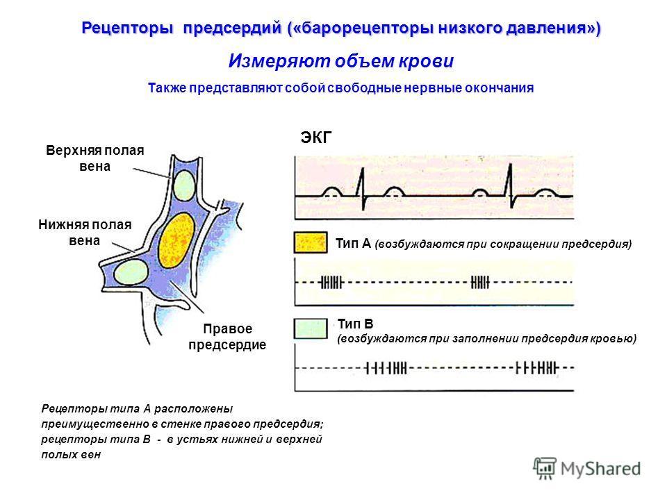 Рецепторы типа А расположены преимущественно в стенке правого предсердия; рецепторы типа В - в устьях нижней и верхней полых вен ЭКГ Тип А (возбуждаются при сокращении предсердия) Тип В (возбуждаются при заполнении предсердия кровью) Верхняя полая ве