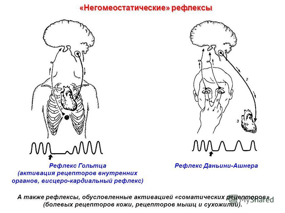 Рефлекс Гольтца (активация рецепторов внутренних органов, висцеро-кардиальный рефлекс) «Негомеостатические» рефлексы А также рефлексы, обусловленные активацией «соматических рецепторов» (болевых рецепторов кожи, рецепторов мышц и сухожилий). Рефлекс