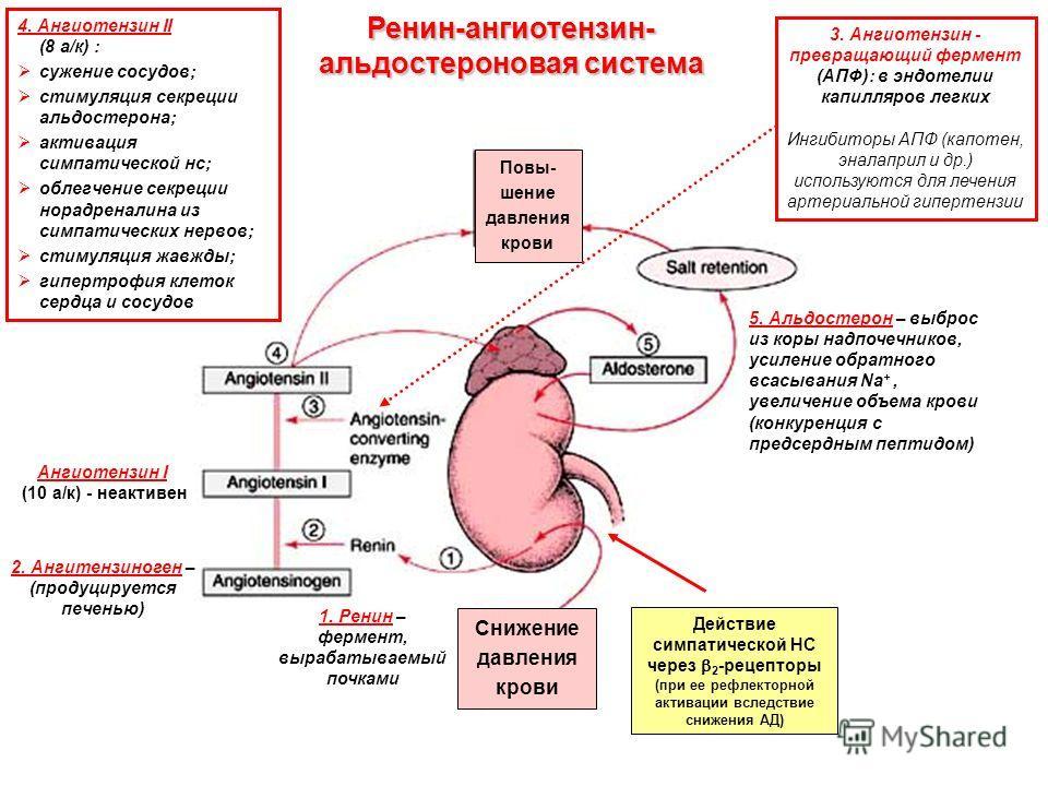4. Ангиотензин II (8 а/к) : сужение сосудов; стимуляция секреции альдостерона; активация симпатической нс; облегчение секреции норадреналина из симпатических нервов; стимуляция жавжды; гипертрофия клеток сердца и сосудов Действие симпатической НС чер