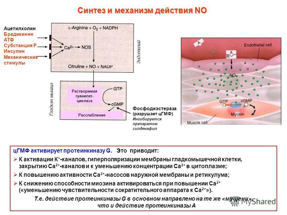 Ацетилхолин Брадикинин АТФ Субстанция Р Инсулин Механические стимулы цГМФ активирует протеинкиназу G. Это приводит: К активации К + -каналов, гиперполяризации мембраны гладкомышечной клетки, закрытию Са 2+ -каналов и к уменьшению концентрации Са 2+ в