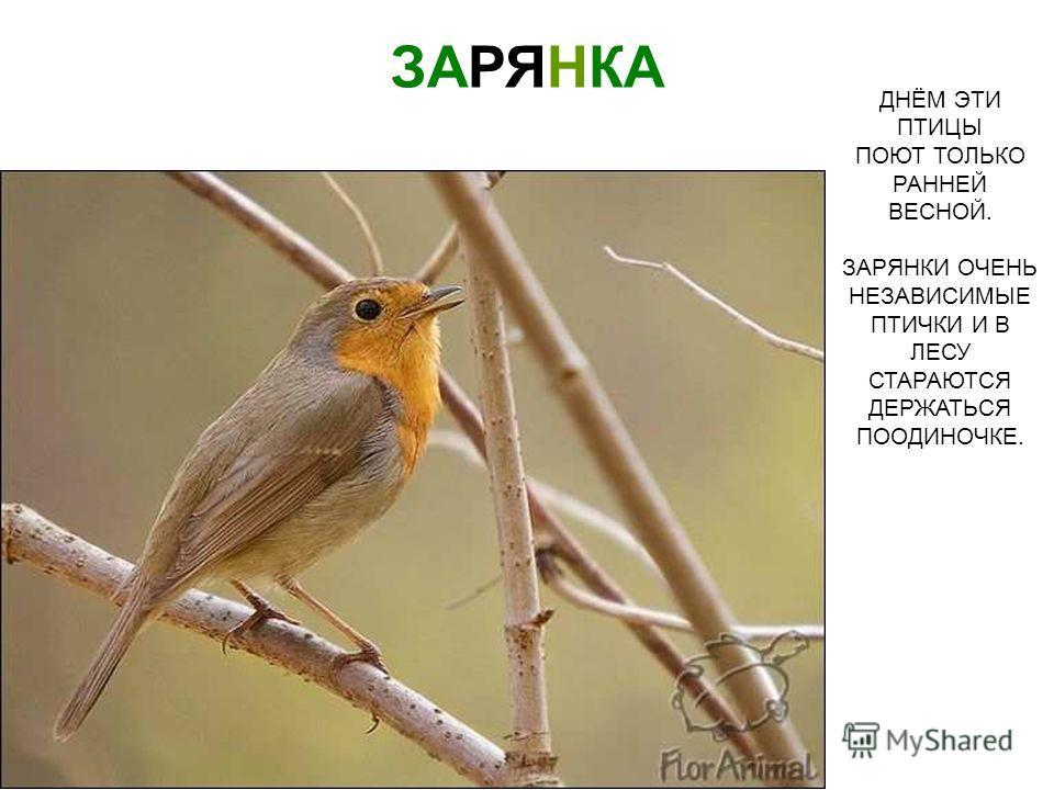 ДНЁМ ЭТИ ПТИЦЫ ПОЮТ ТОЛЬКО РАННЕЙ ВЕСНОЙ. ЗАРЯНКИ ОЧЕНЬ НЕЗАВИСИМЫЕ ПТИЧКИ И В ЛЕСУ СТАРАЮТСЯ ДЕРЖАТЬСЯ ПООДИНОЧКЕ. ЗАРЯНКА Днём эти птицы поют только ранней весной. Зарянки очень независимые птички и в лесу стараются держаться поодиночке. Зарянка