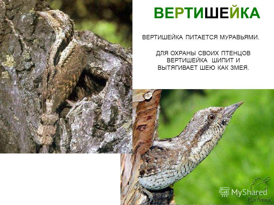 ВЕРТИШЕЙКА ДЛЯ ОХРАНЫ СВОИХ ПТЕНЦОВ ВЕРТИШЕЙКА ШИПИТ И ВЫТЯГИВАЕТ ШЕЮ КАК ЗМЕЯ. ВЕРТИШЕЙКА ПИТАЕТСЯ МУРАВЬЯМИ. Вертишейка для охраны своих птенцов вертишейка шипит и вытягивает шею как змея. Вертишейка питается муравьями.
