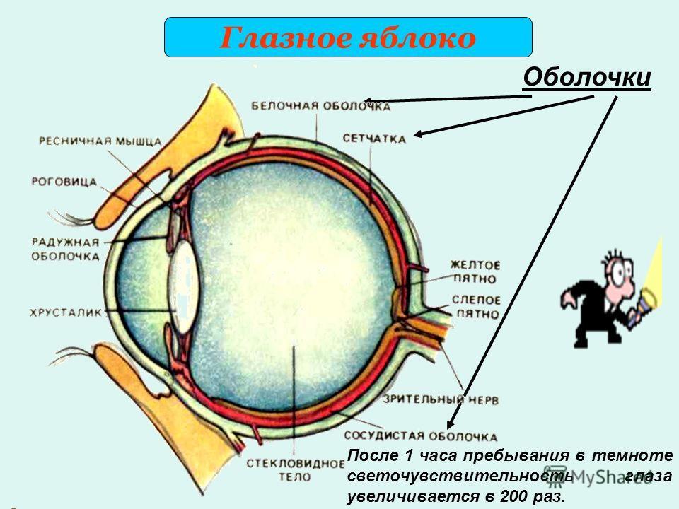Оболочки После 1 часа пребывания в темноте светочувствительность глаза увеличивается в 200 раз.