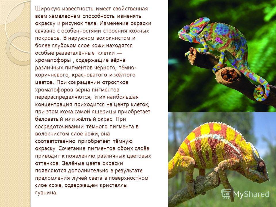 Широкую известность имеет свойственная всем хамелеонам способность изменять окраску и рисунок тела. Изменение окраски связано с особенностями строения кожных покровов. В наружном волокнистом и более глубоком слое кожи находятся особые разветвлённые к