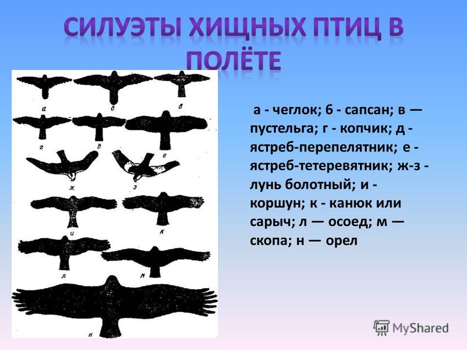 а - чеглок; 6 - сапсан; в пустельга; г - копчик; д - ястреб-перепелятник; е - ястреб-тетеревятник; ж-з - лунь болотный; и - коршун; к - канюк или сарыч; л осоед; м скопа; н орел