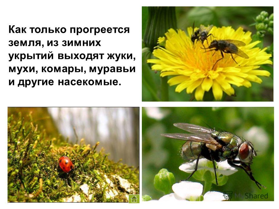 Как только прогреется земля, из зимних укрытий выходят жуки, мухи, комары, муравьи и другие насекомые.