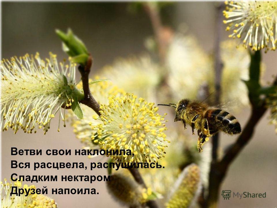 Ветви свои наклонила, Вся расцвела, распушилась. Сладким нектаром Друзей напоила.