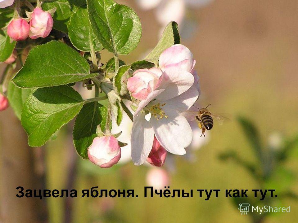 Зацвела яблоня. Пчёлы тут как тут.