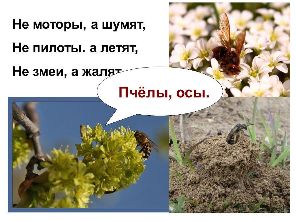 Не моторы, а шумят, Не пилоты. а летят, Не змеи, а жалят. Пчёлы, осы.