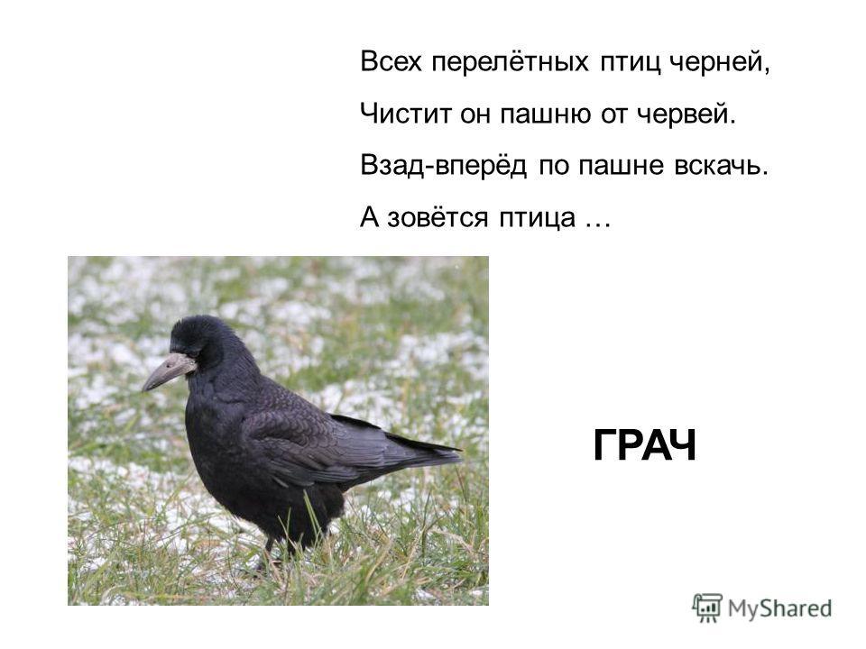 Всех перелётных птиц черней, Чистит он пашню от червей. Взад-вперёд по пашне вскачь. А зовётся птица … ГРАЧ