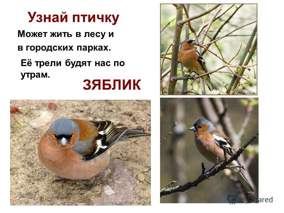 Узнай птичку Её трели будят нас по утрам. Может жить в лесу и в городских парках. ЗЯБЛИК