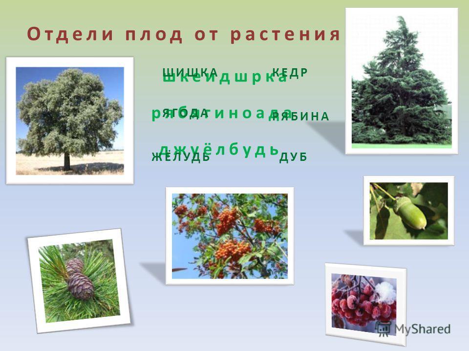 Отдели плод от растения шкеидшрка рябягиноада джуёлбудь ШИШКАКЕДР ЯГОДА РЯБИНА ЖЁЛУДЬДУБ