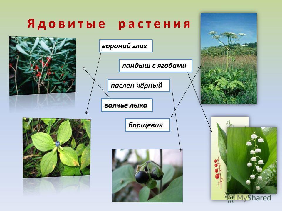 Ядовитые растения вороний глаз ландыш с ягодами паслен чёрный волчье лыко борщевик