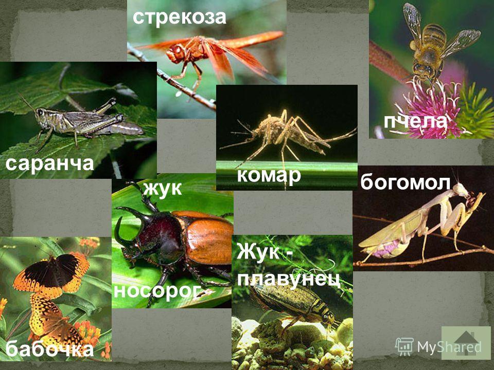 пчела стрекоза саранча Жук - плавунец бабочка носорог жук богомол комар