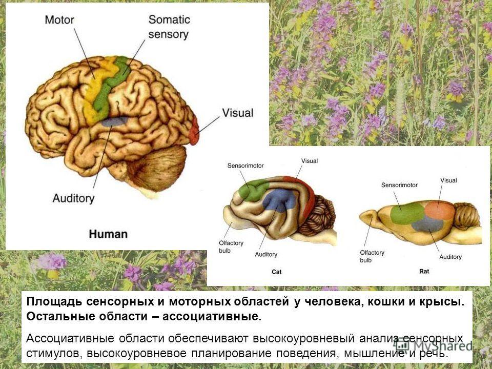 Площадь сенсорных и моторных областей у человека, кошки и крысы. Остальные области – ассоциативные. Ассоциативные области обеспечивают высокоуровневый анализ сенсорных стимулов, высокоуровневое планирование поведения, мышление и речь.