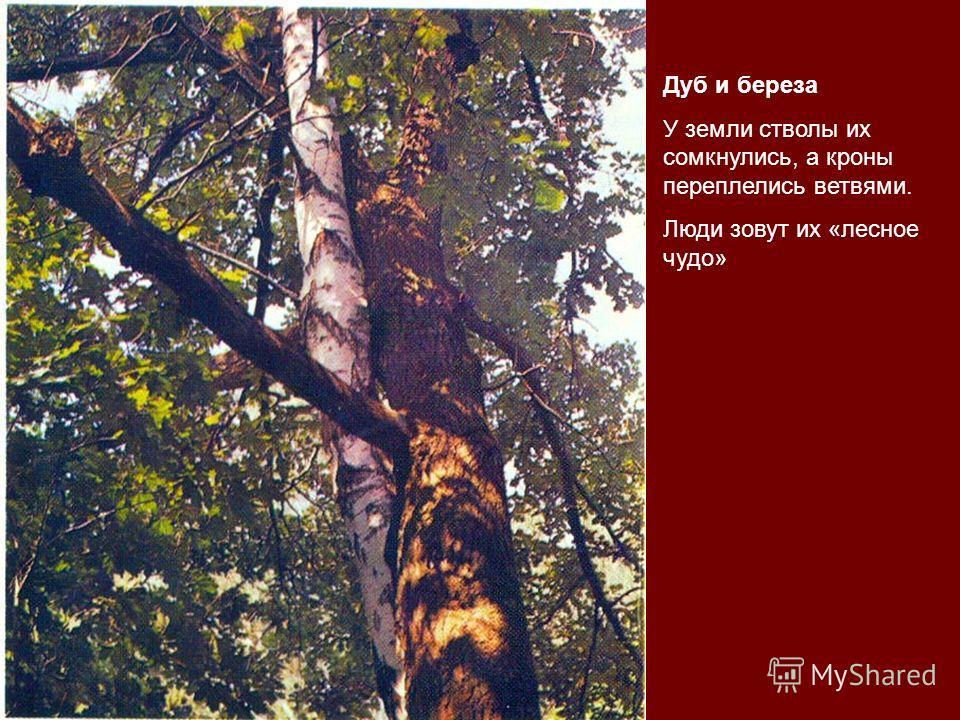 Дуб и береза У земли стволы их сомкнулись, а кроны переплелись ветвями. Люди зовут их «лесное чудо»