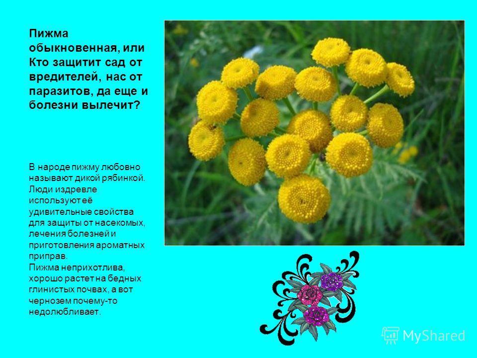 Пижма обыкновенная, или Кто защитит сад от вредителей, нас от паразитов, да еще и болезни вылечит? В народе пижму любовно называют дикой рябинкой. Люди издревле используют её удивительные свойства для защиты от насекомых, лечения болезней и приготовл