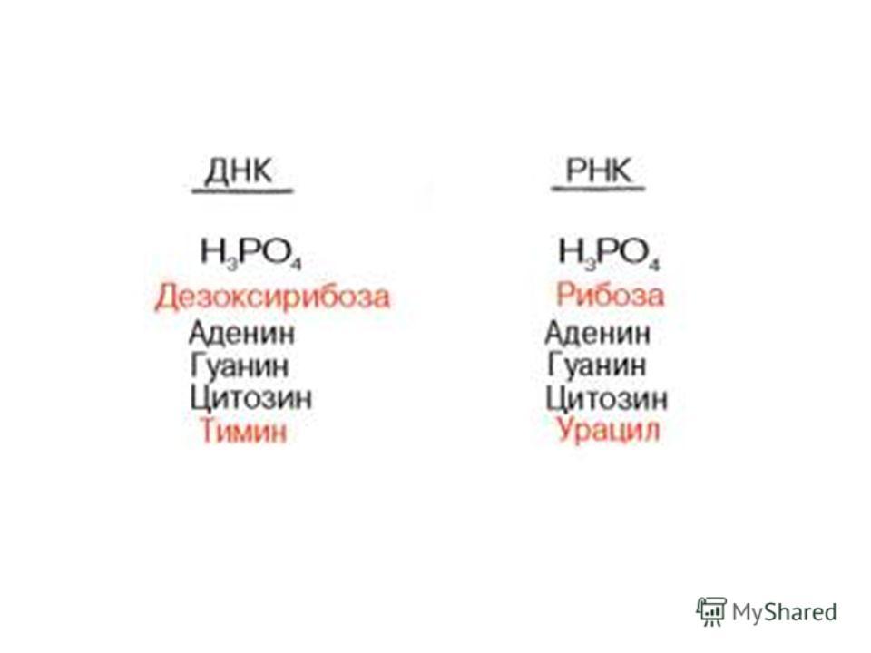 Состав ДНК и РНК пуриновые и пиримидиновые основания, углеводы (рибоза и дезоксирибоза), фосфорная кислота ДНК – двухцепочечная, служит для передачи наследственной информации В отличие от ДНК молекулы всех трех типов РНК одноцепочечные, служат для ре