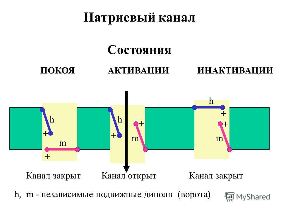 Натриевый канал ПОКОЯ АКТИВАЦИИ ИНАКТИВАЦИИ Состояния Канал закрыт Канал открыт Канал закрыт hh h m mm h, m - независимые подвижные диполи (ворота) + + + + + +