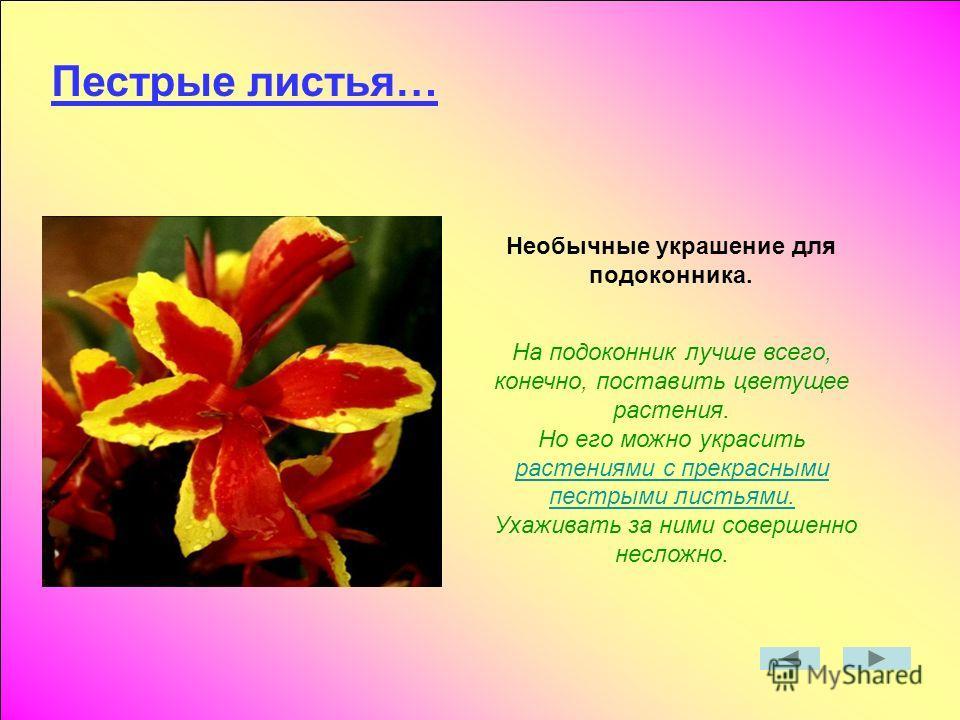 Пестрые листья… Необычные украшение для подоконника. На подоконник лучше всего, конечно, поставить цветущее растения. Но его можно украсить растениями с прекрасными пестрыми листьями. растениями с прекрасными пестрыми листьями. Ухаживать за ними сове